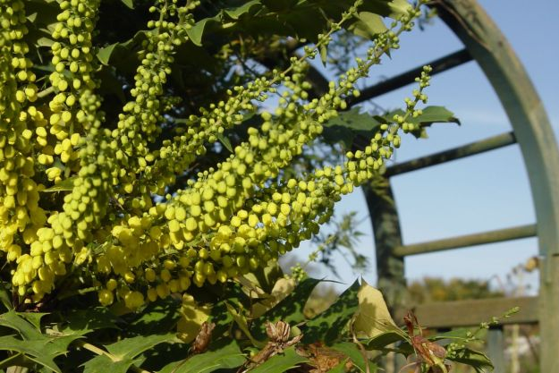 But now the bees have their yellow Mahonia, just coming out.
