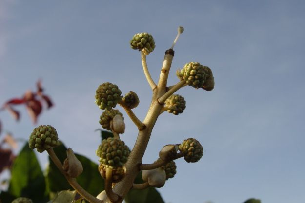 While Fatsia is beginning its late flowering.