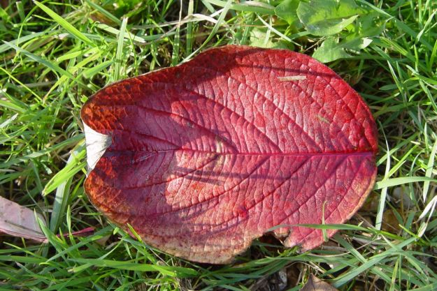 One red leaf, curling and returning to the earth.