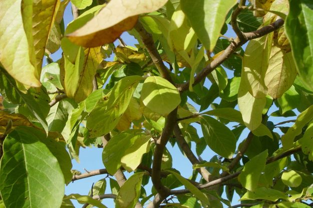 The Magnolia leaves preparing to fall.