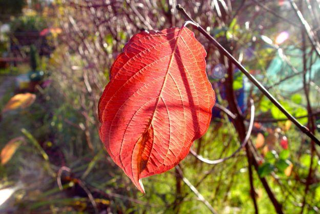 Last leaves on the dogwood hedge.