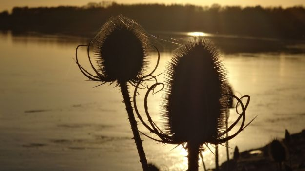 Teasels in the sunset.