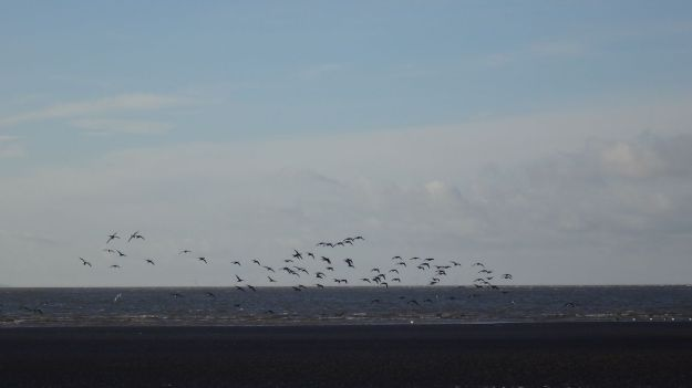 Down here at the edge of the sea it's us and the lapwings.