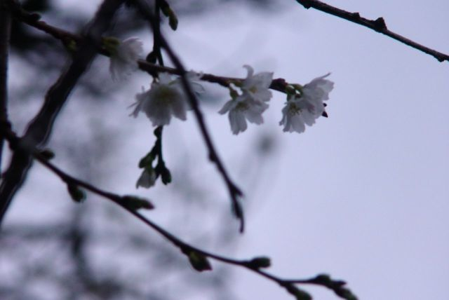 Blossoms too early in this warm December.