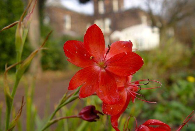 In the Sudley garden, autumn flowering Schizostylis Coccinea.