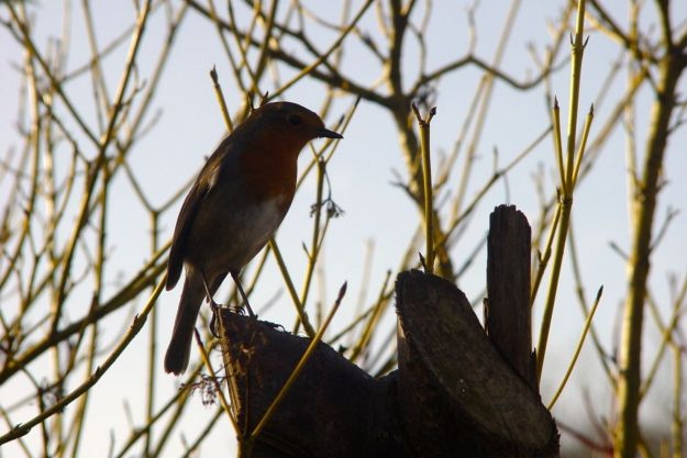 And still, one of robins keeps joining in.