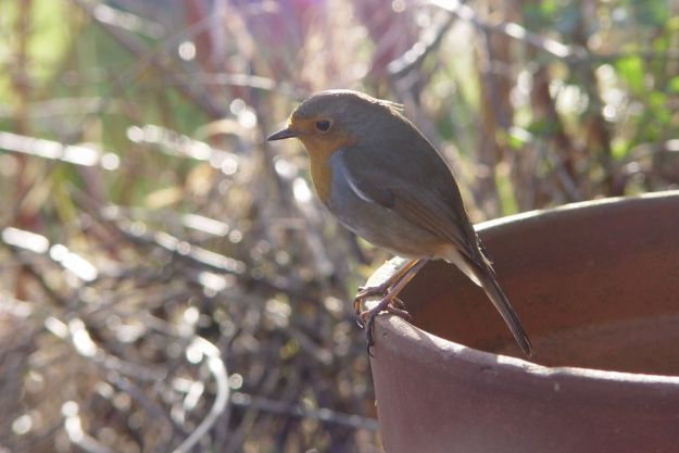 One of a family of robins, who live in Sarah's dogwood hedge, came to see what we were doing.