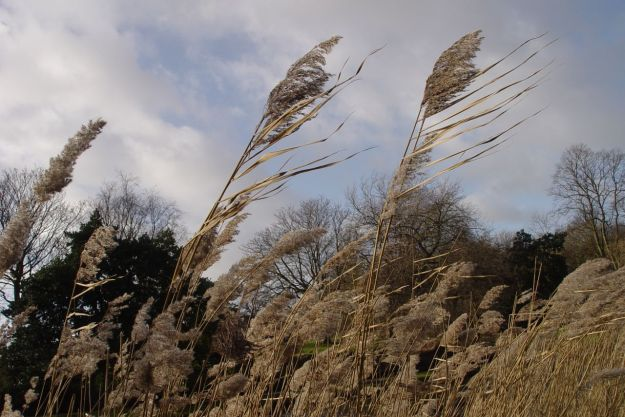 The wind in the rushes on the lake in Greenbank Park.