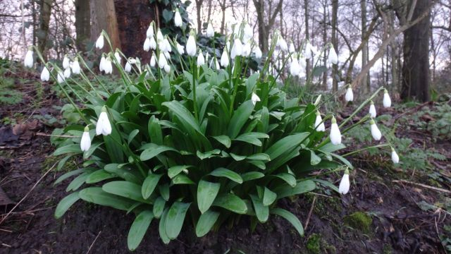 The snowdrops are arriving.