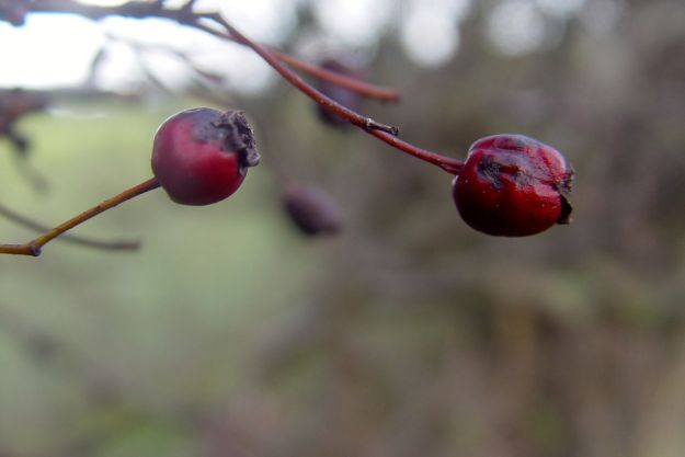 A few hawthorn berries left.