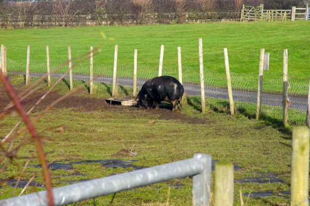 At Church Farm, as we pass, there's this splendid black pig we've never seen here before.