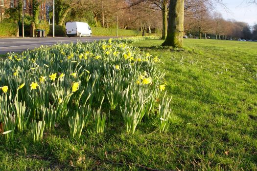 Shining golden onto the fresh new daffodils. Just out.