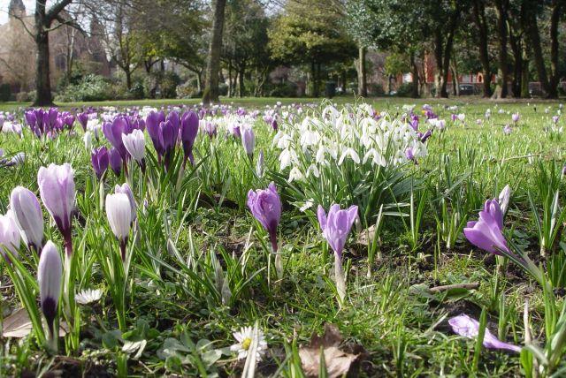 Springtime crocuses in Alexandra Park.