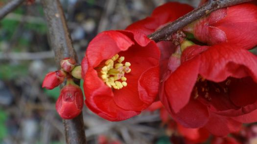 Quince in flower.