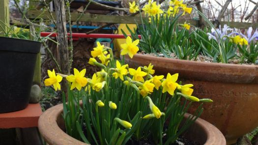 More tiny daffodils.
