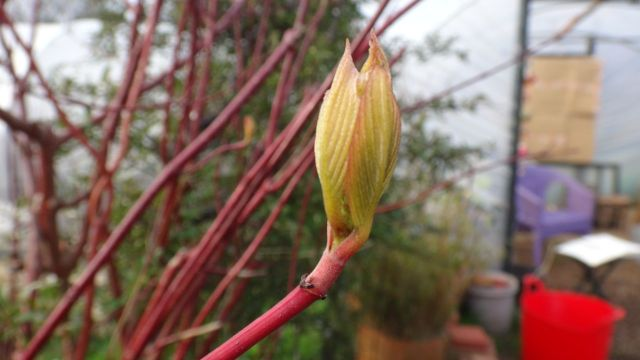 The dogwood leaves are opening.