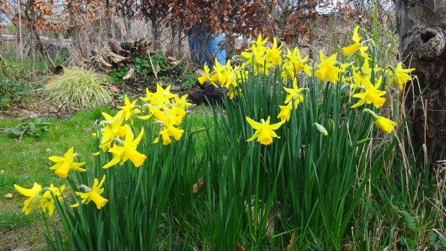 Narcissus 'February Gold' reliably early and in profusion.