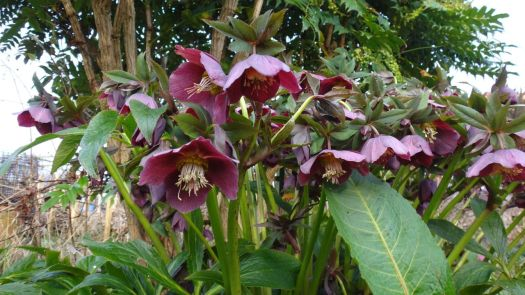 And hellebores.