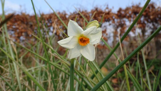 And narcissi.