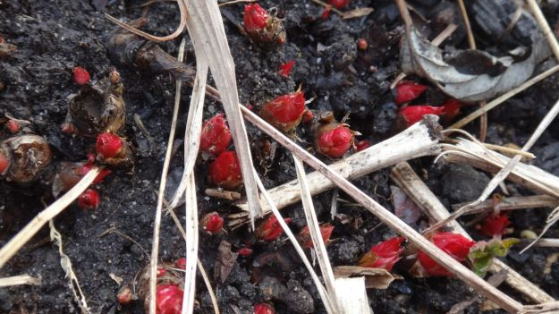 Emerging red shoots of Geranium 'Anne Folkhard'.