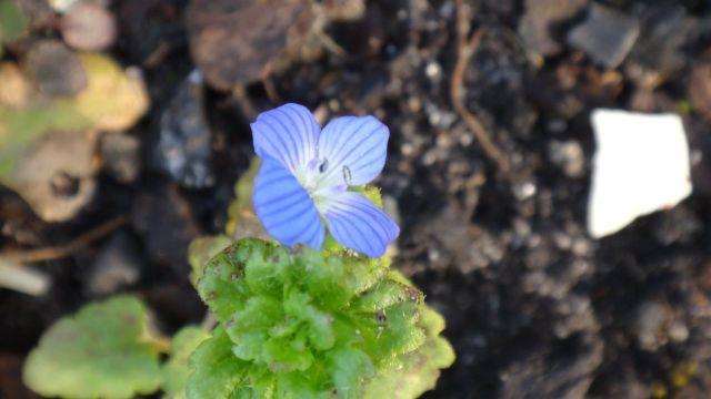 A profusion of blue speedwell.