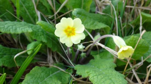 The first primula.