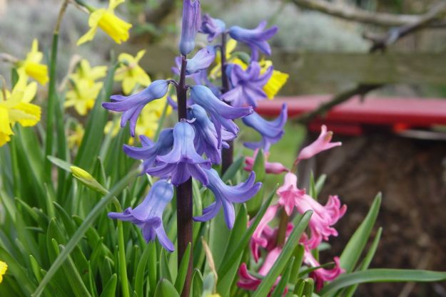 Blue and pink Hyacinths.