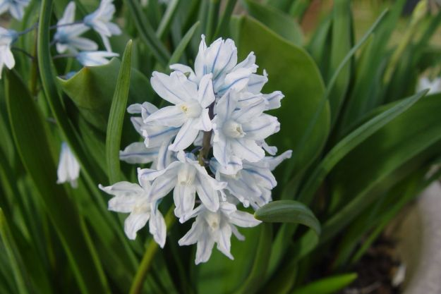 Striped squill.