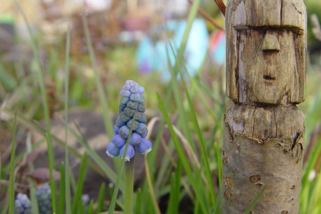 'Grape hyacinth'