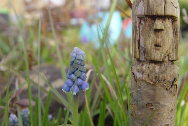 'Grape hyacinth'