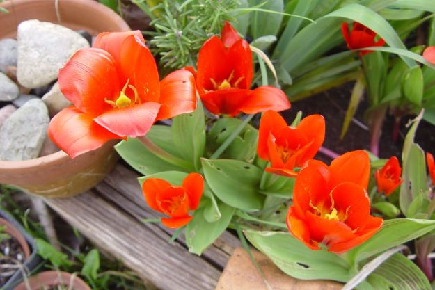 Even I know these are red tulips though.