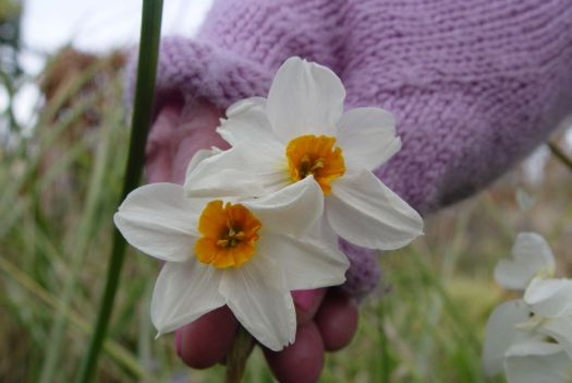 Narcissi in Sarah's hand.