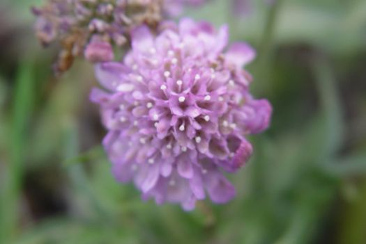 'Very early flowering scabies' says Sarah.