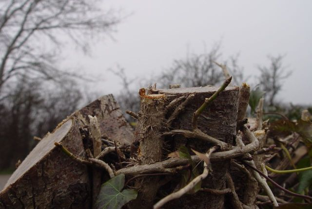 During the winter the long hedge on Station Road has been decisively cut back.