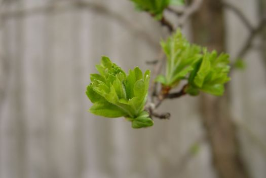 But it's spring and here come the hawthorn leaves.