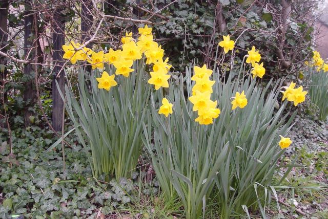 Daffodils upright and proud.
