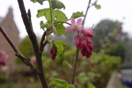 Ornamental cherry.