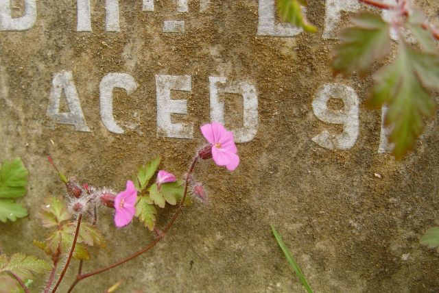 Herb Robert flowering on a gravestone.