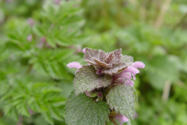 Dead nettle under the hedgerow. Not at all dead, but doesn't sting.