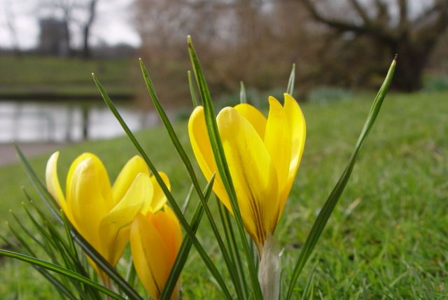 There are crocuses all over the place. I won't show you too many just yet.