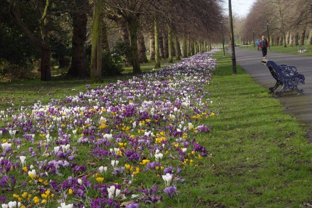 For as far as you can see, crocuses.