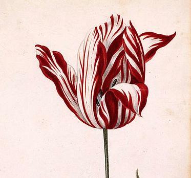 Semper Augustus. Top tulip of 1637.