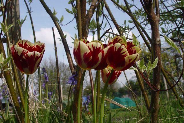 Tulip Mania05