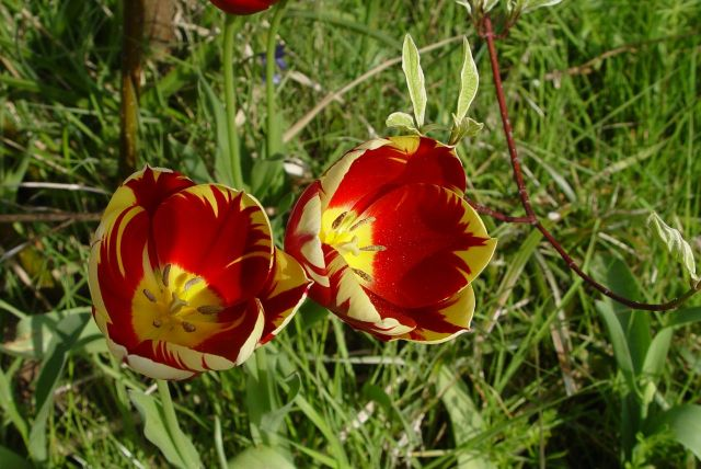 Tulip Mania06