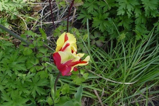 Tulip Mania09