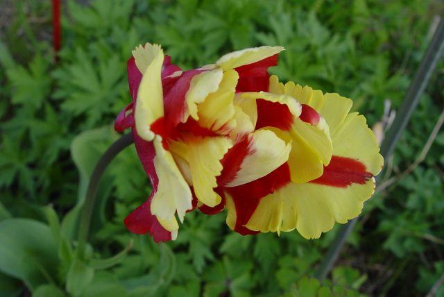 Tulip Mania11