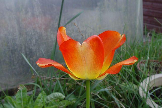Tulip Mania14