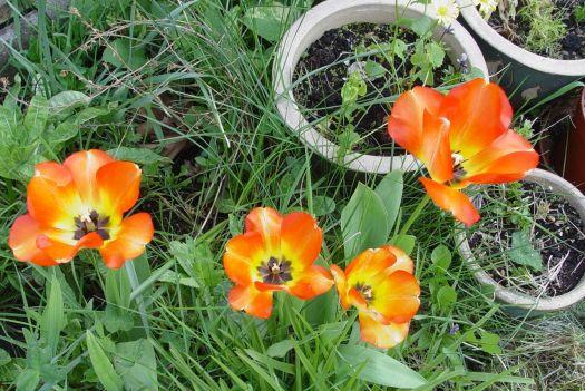 Tulip Mania15