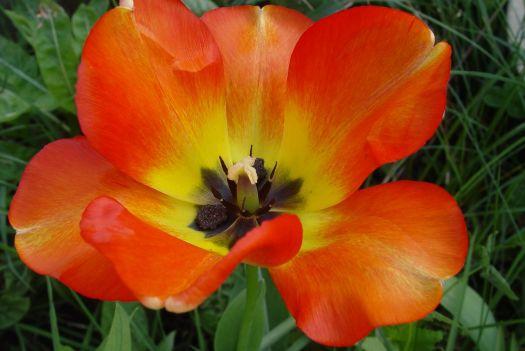 Tulip Mania16