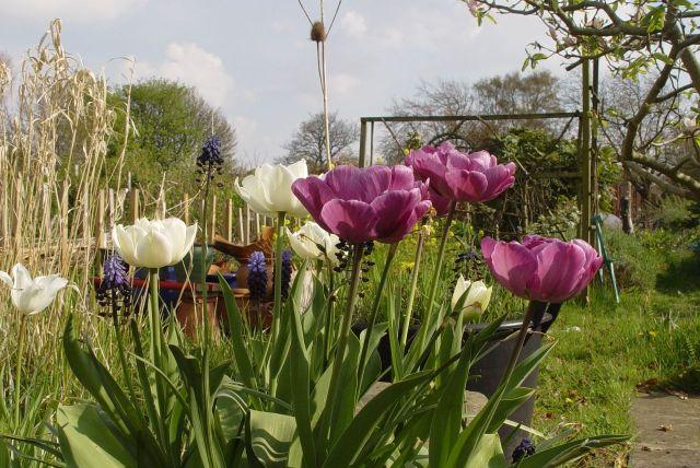 Tulip Mania17